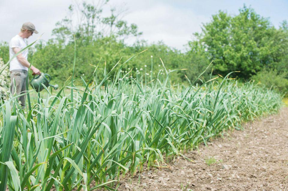 Watering Garlic Plants