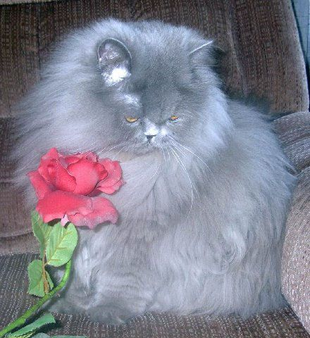 Persian Cat with Rose