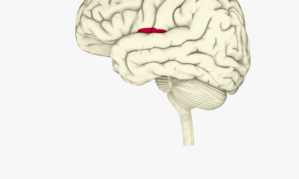 The insula, in red, is involved in memory, learning, and emotional response.