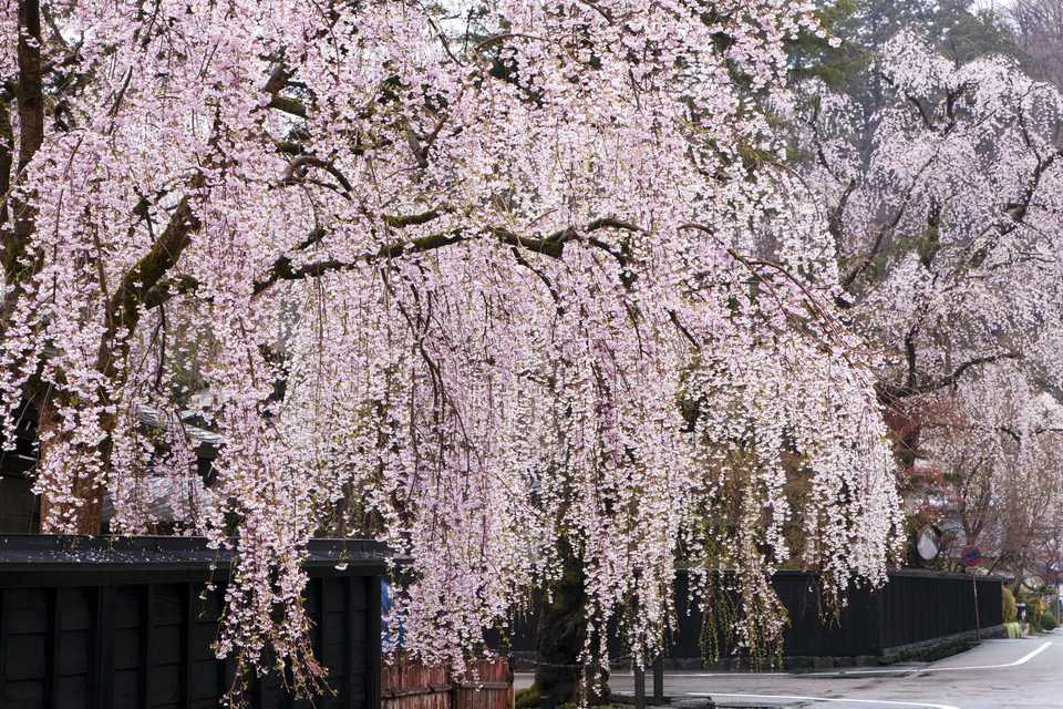 19 Species Of Weeping Trees