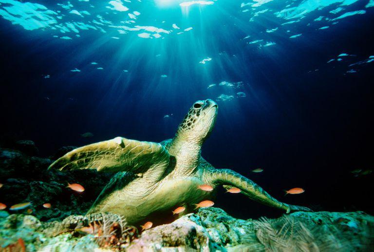 Green sea turtle (Chelonia mydas) on coral reef (Digital Composite)