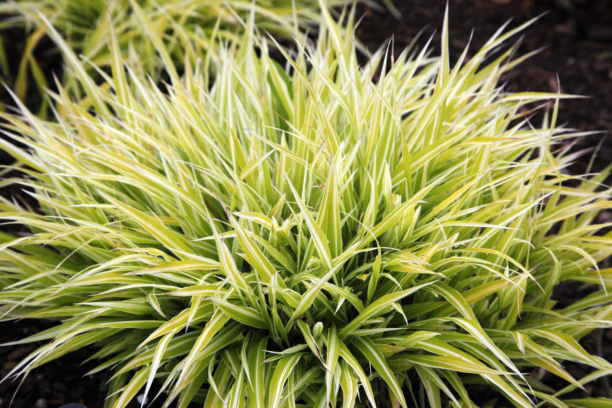 Golden Hakone Grass Facts Growing Tips