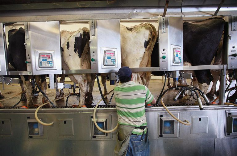 Nacho Martinez milks cows at Kelsay and Son dairy farm on July 20, 2012