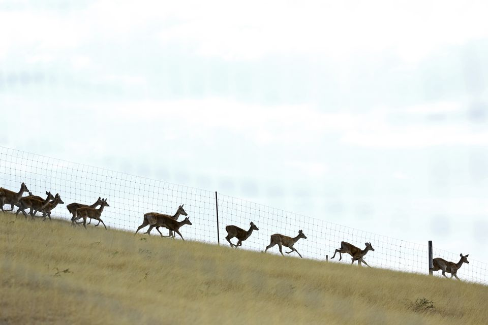 Image of deer fencing with herd of deer running.