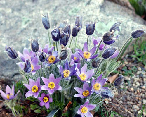Pasque flower picture.
