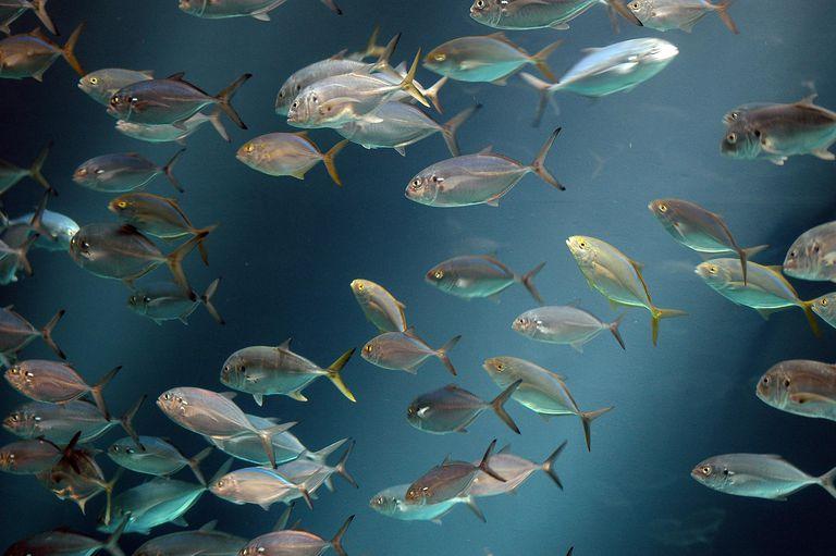 Los peces en el río