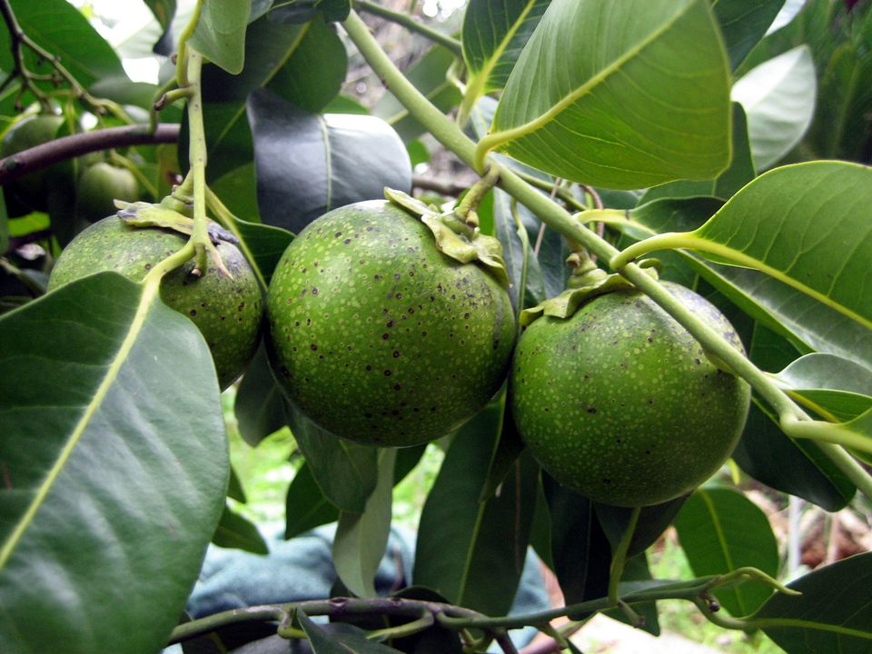 Fruit of the black sapote