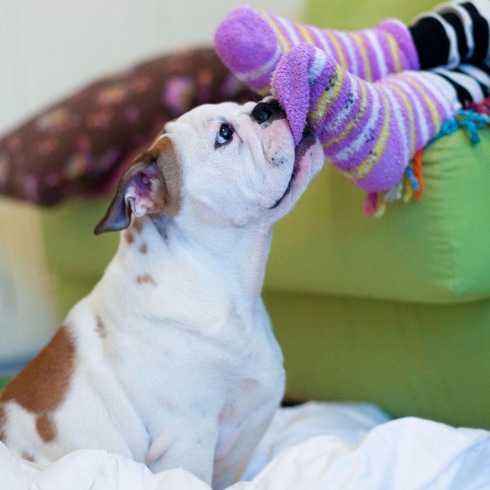 Bulldog biting child's socks