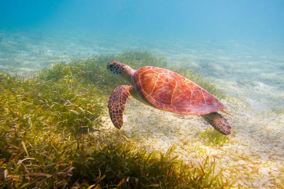 Puerto Rico Sea Turtle