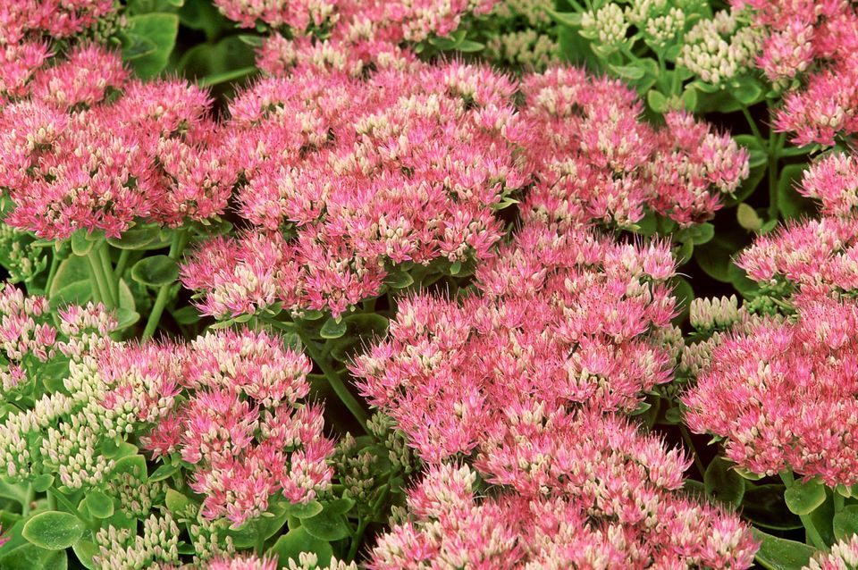 Sedum spectabile 'Brilliant' August