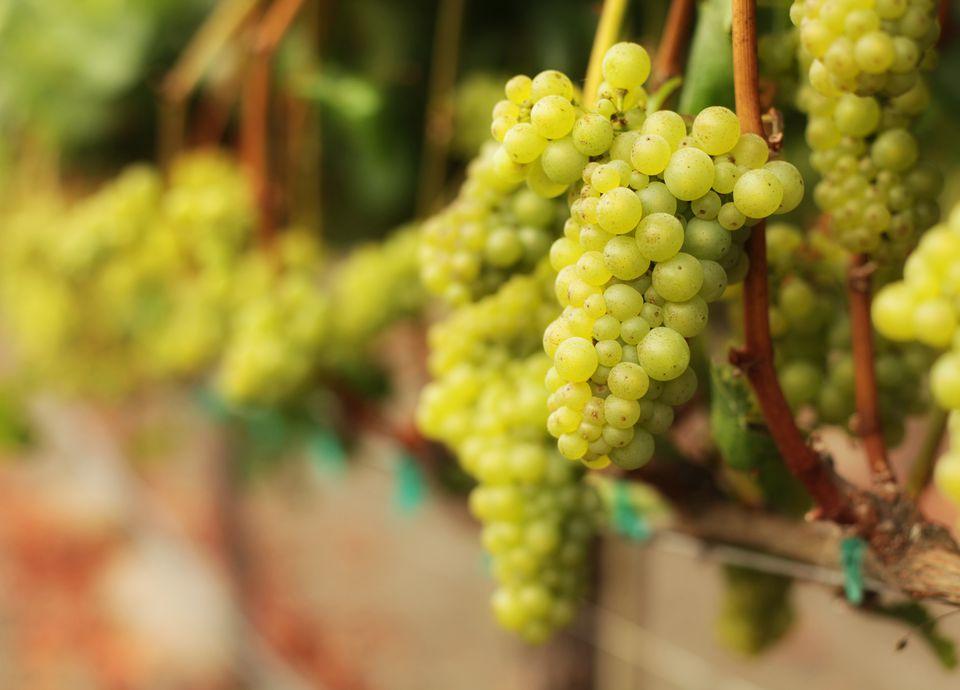White Wine Grape Bunches