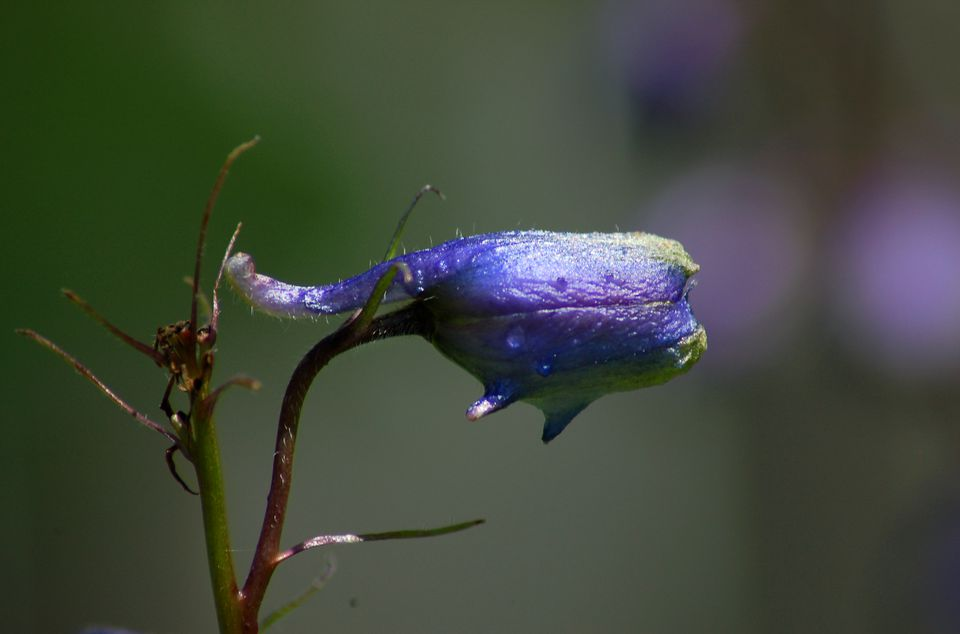 Black Knight delphinium is dolphin-shadped. The word delphinium is related to dolphin.