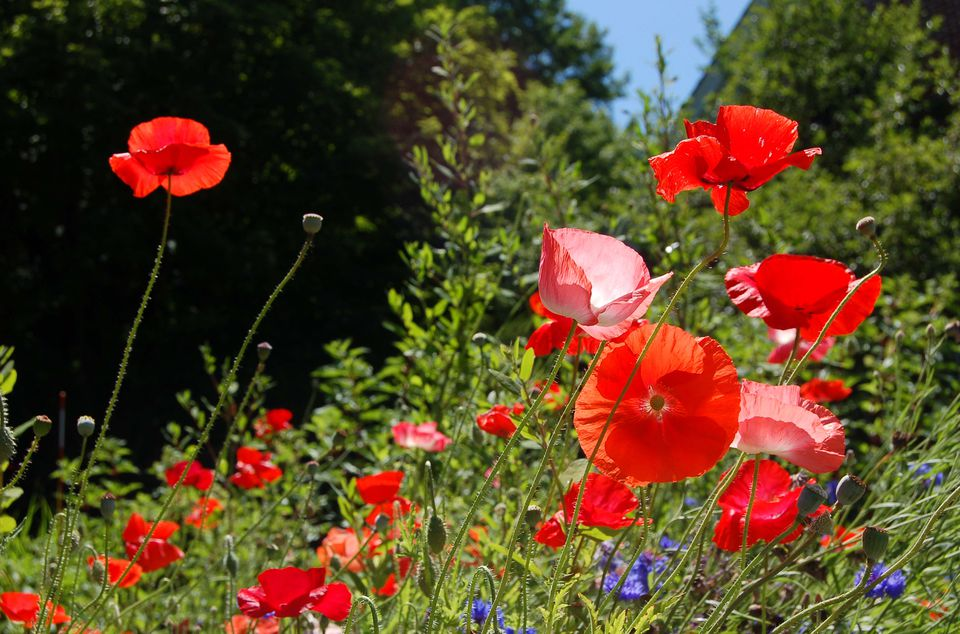 Shirley poppies massed together in a mixed flower bed.
