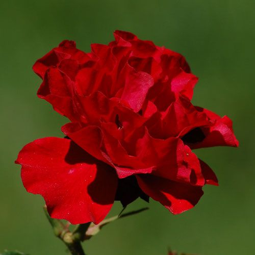 "Picture of red rose. ""Interama"" has a classic red rose color."