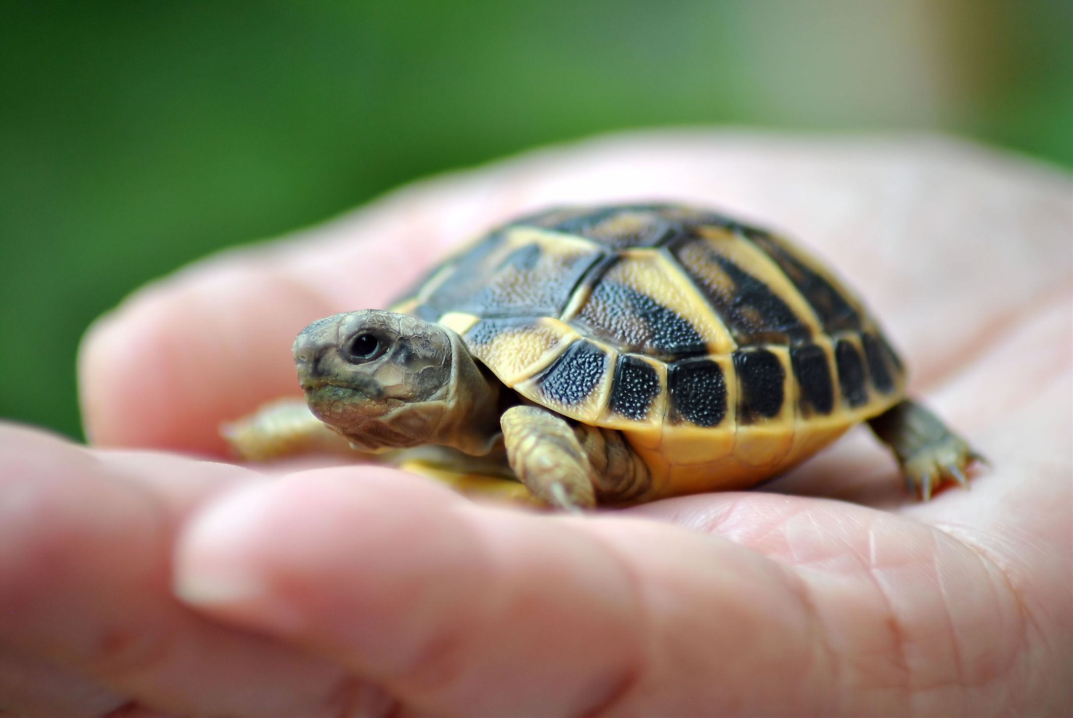 A Umbra Rasa (Penumbra) - Página 22 Pet-turtle-GettyImages-163253309-58da61e53df78c516256c1c6
