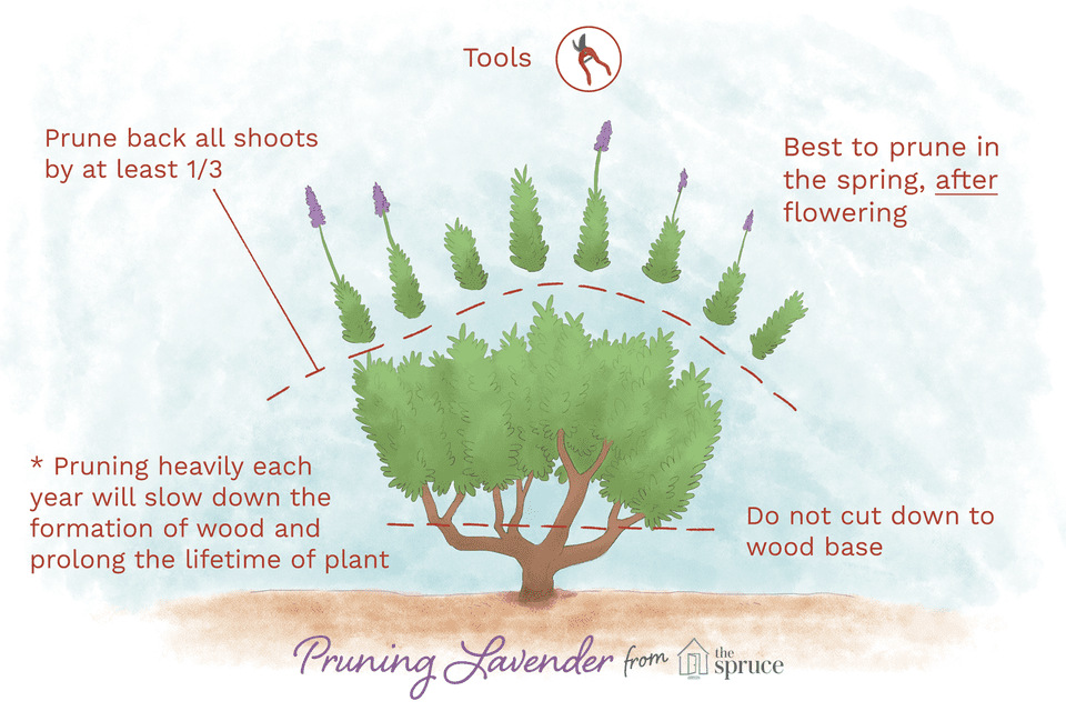 Illustration depicting how to prune lavender plants