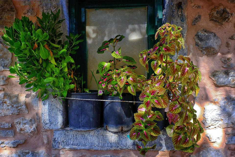 hybrid coleus plants on the window
