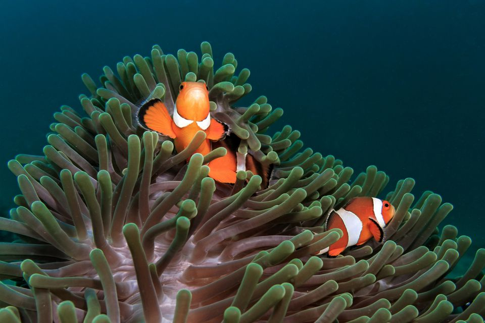 Clownfish resting in anemone
