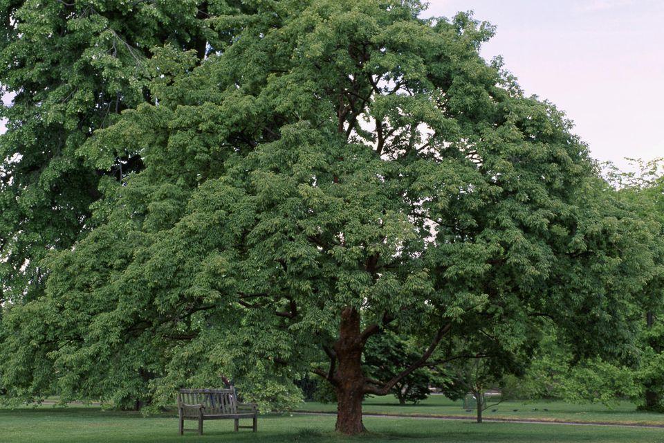 Paperbark Maple (Acer griseum), Aceraceae-Sapindaceae