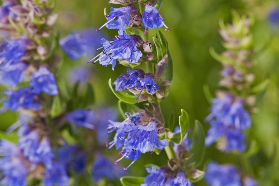 Purple Leonurus cardiaca (Motherwort) flowers and buds on long stems