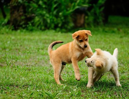 Submissive urination and puppies the science behind puppy dominance and conflict aggression m4hsunfo Images