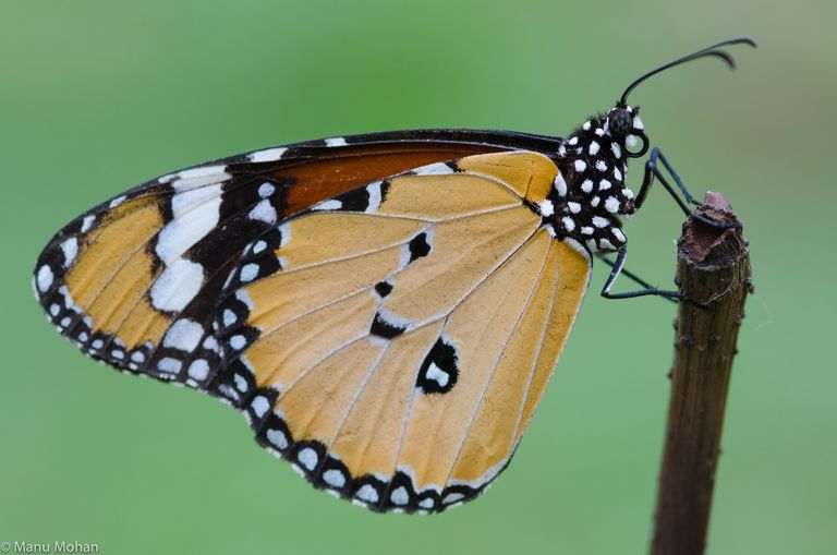 Brush-footed butterfly.