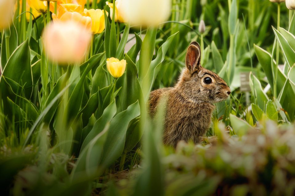 Young Rabbit In The Flowers