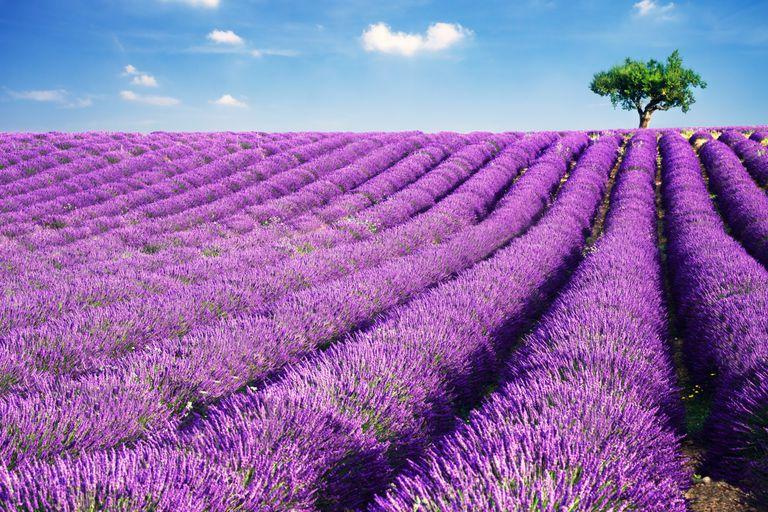Cultiva esta aromtica planta en tu jardn