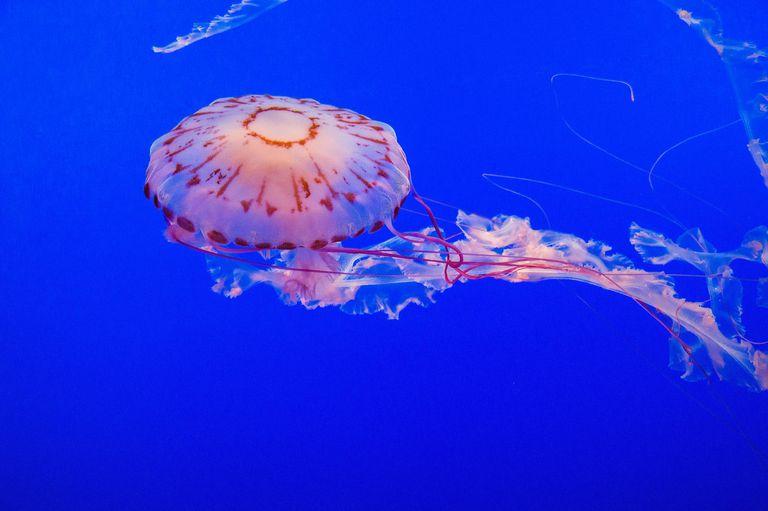 Purple-striped jelly fish dancing underwater