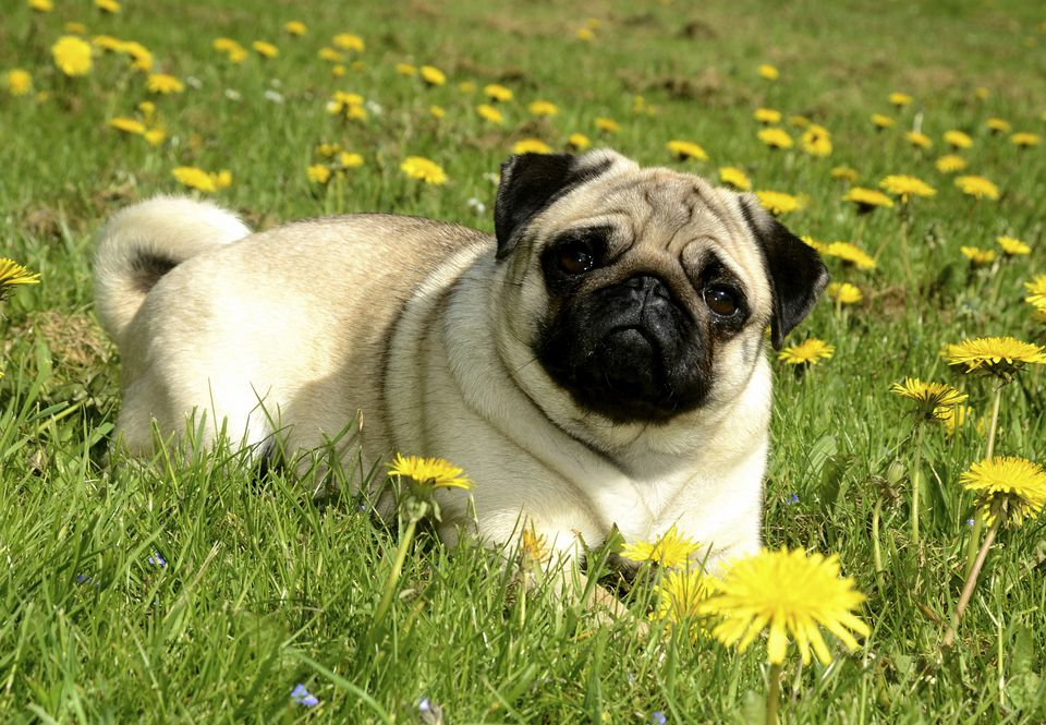 Pug lying in meadow with dandelions, Sweden, Europe