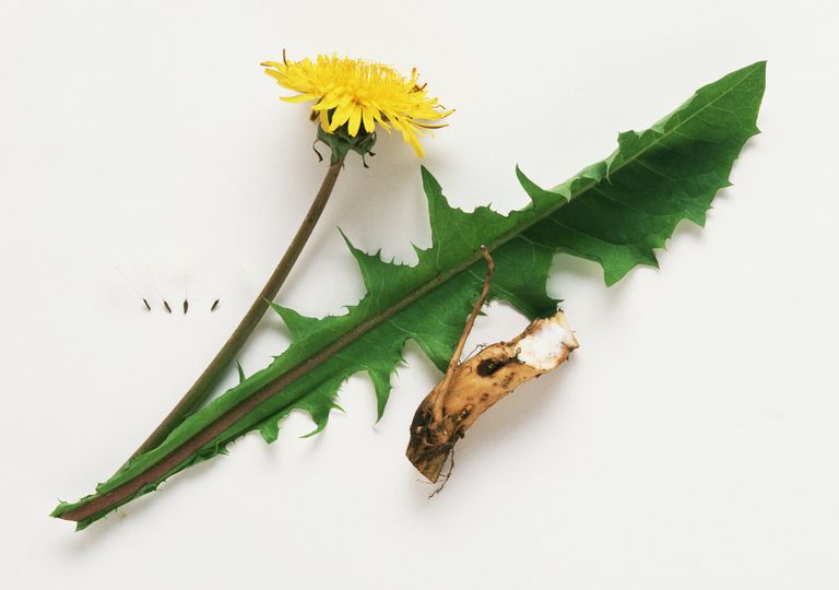 Root and Leaf of the Dandelion Herb
