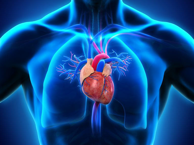 Human heart and valves