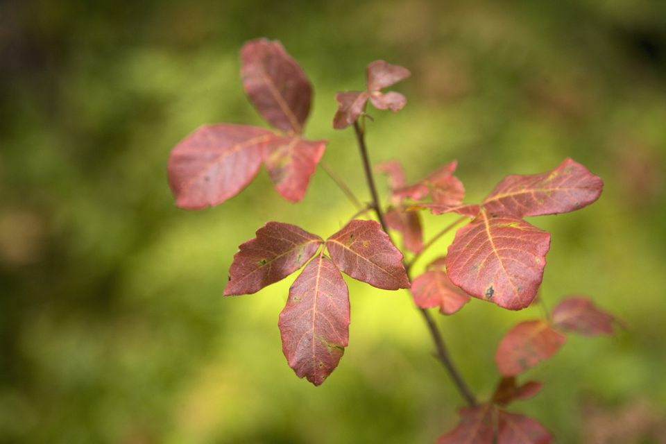 Image of poison oak.