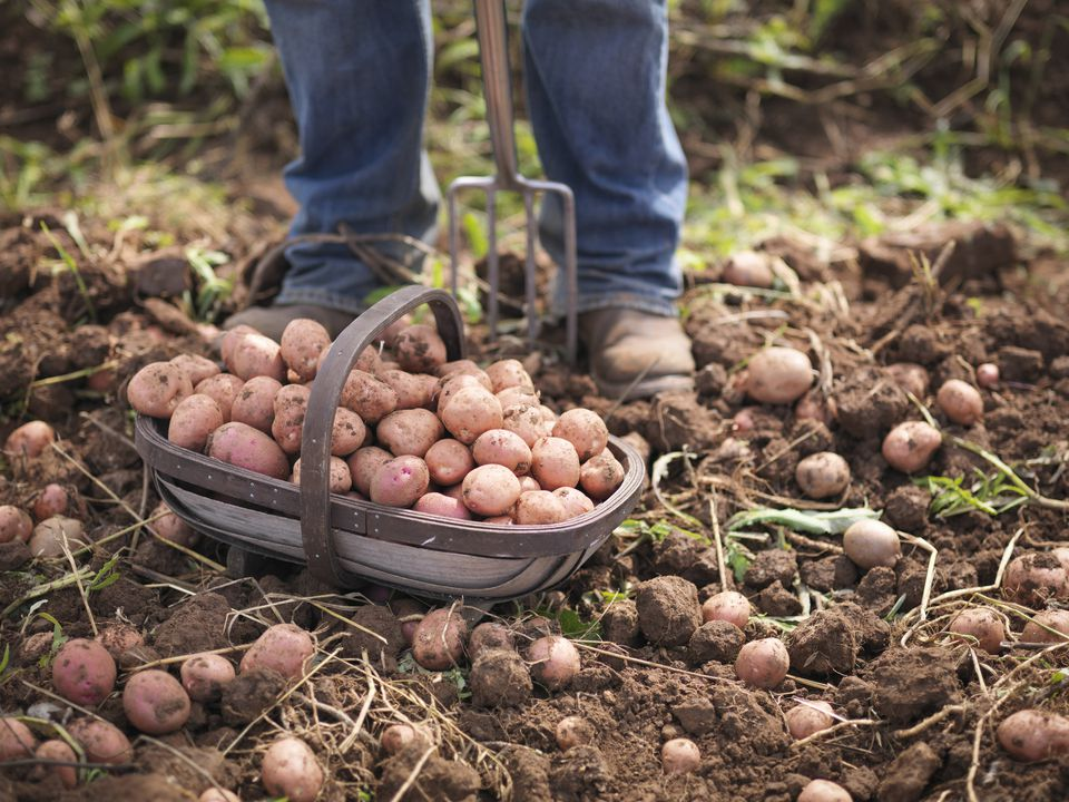 Growing organic potatoes