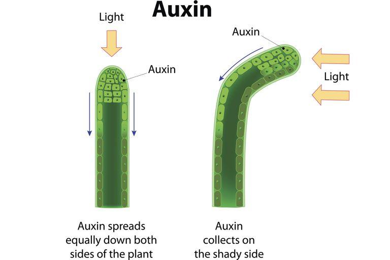 Auxins Phototropism