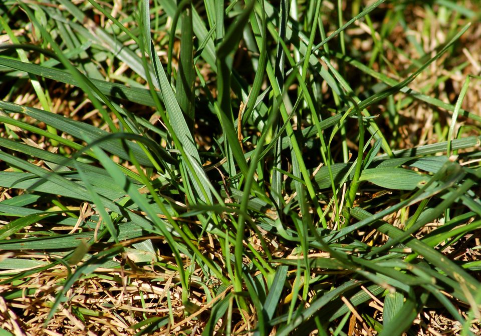 Picture of tall fescue grass. This coarse plant is often considered a grassy weed.
