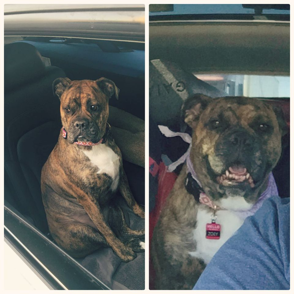Zoey, 4-year-old Boxer mix, loves car rides.