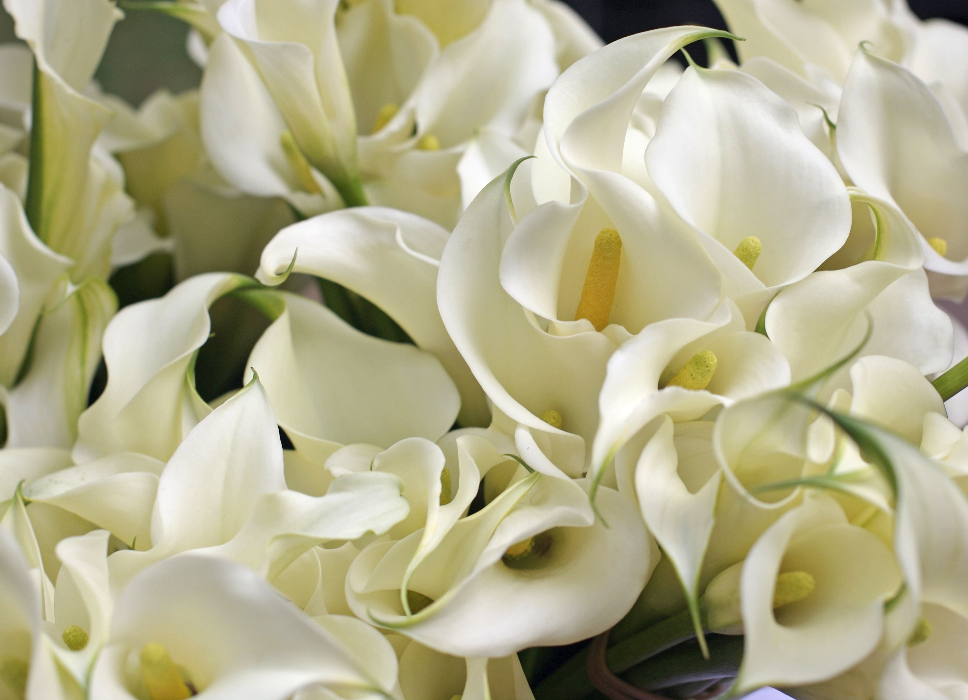 Growing and care of calla lily indoors izmirmasajfo Image collections