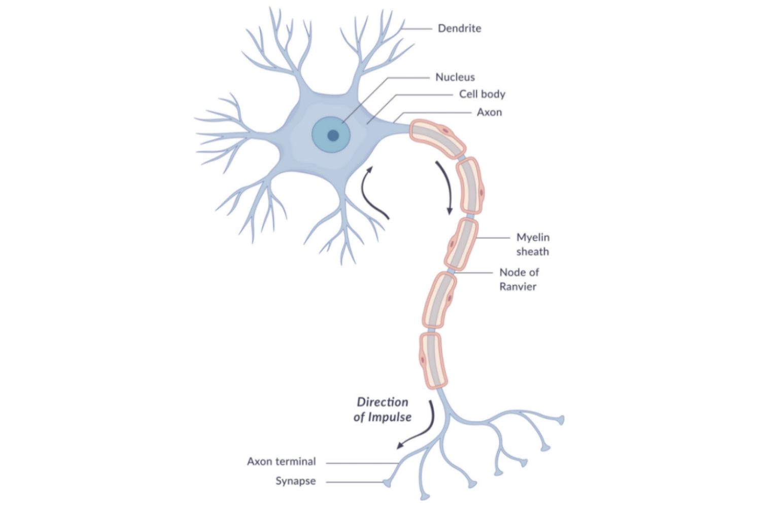 The anatomy of neurons human biology pooptronica Gallery