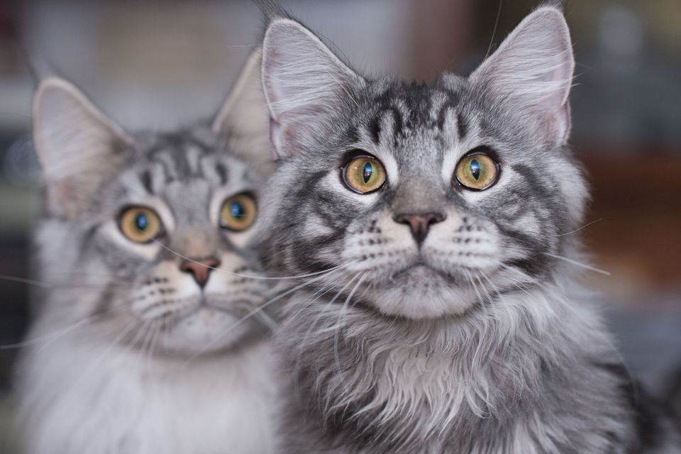 Brother and sister Maine Coons