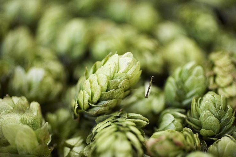 Close up of hops