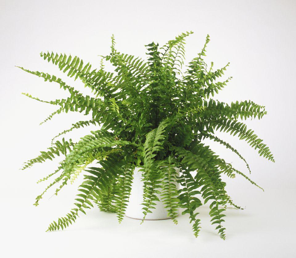 Nephrolepis exaltata Bostoniensis (Boston fern), growing in pot
