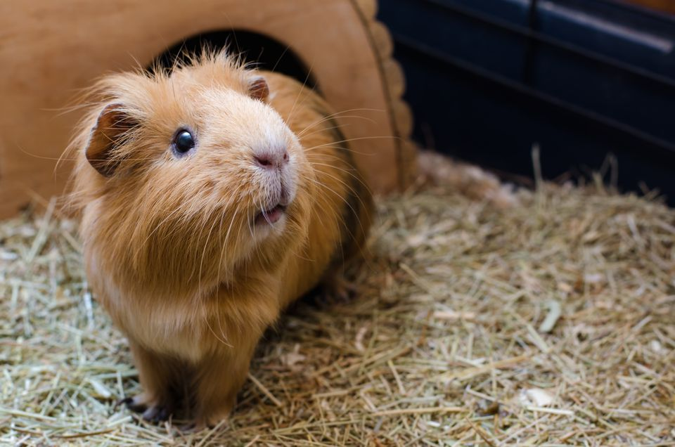 red guinea pig in cage