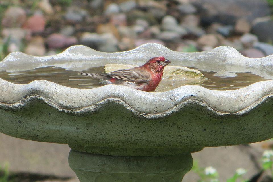 House Finch in a Bird Bath