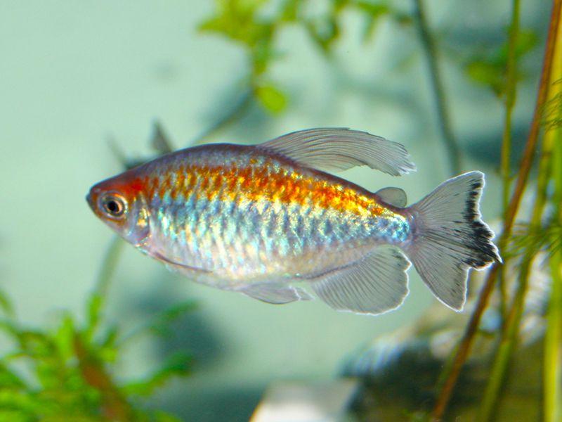 Contgo Tetra Comunity Aquarium Fish