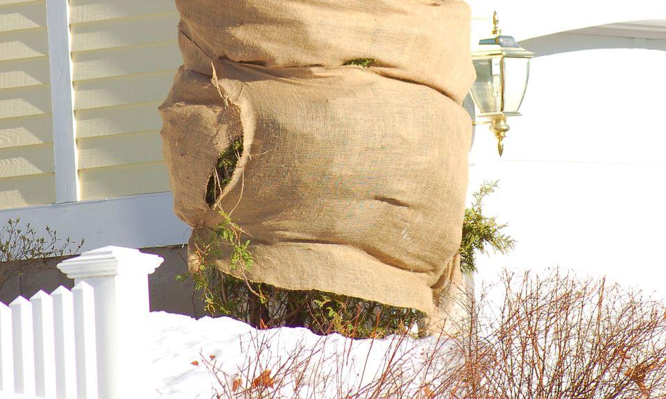 Burlap tree wrap on a shrub.