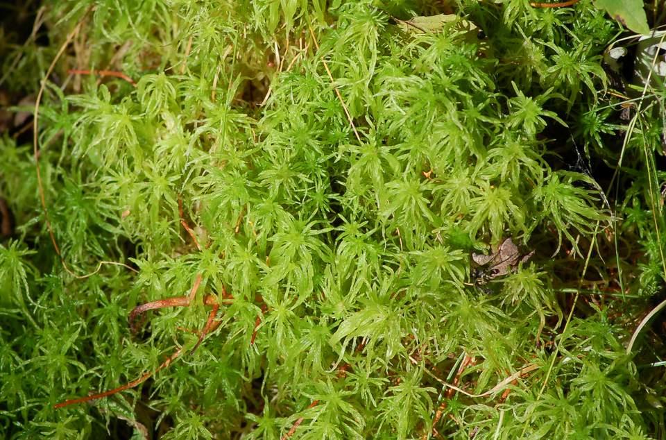 Image of sphagnum moss.
