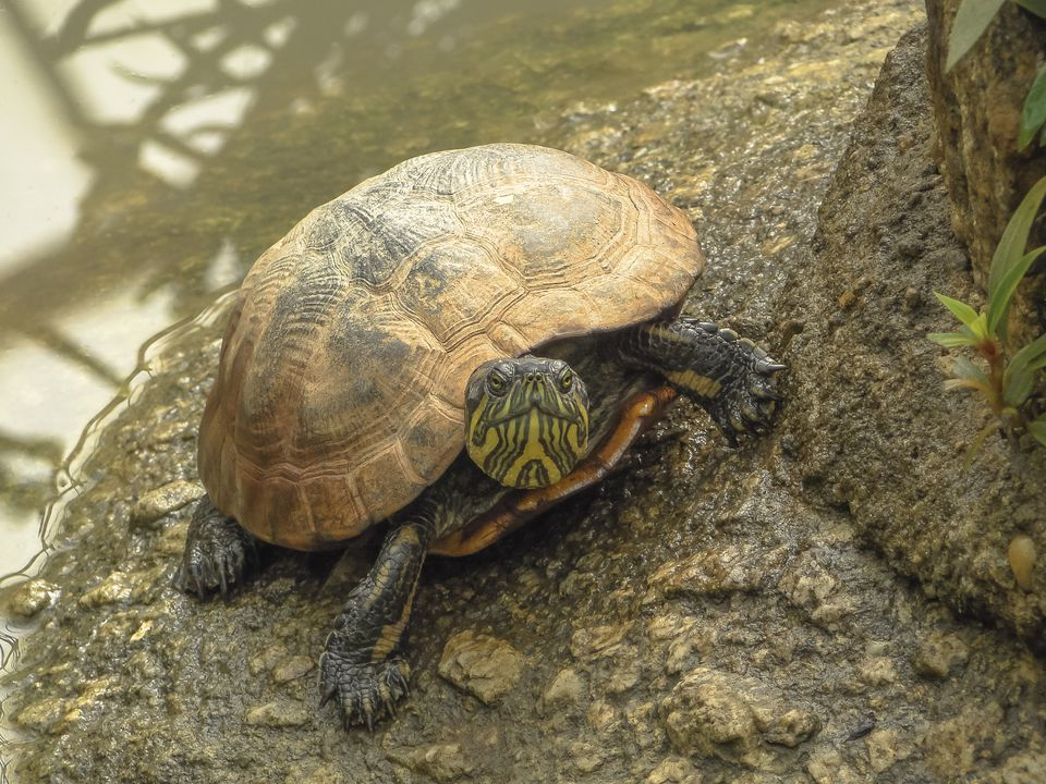Aquatic turtle on a rock at water's edge