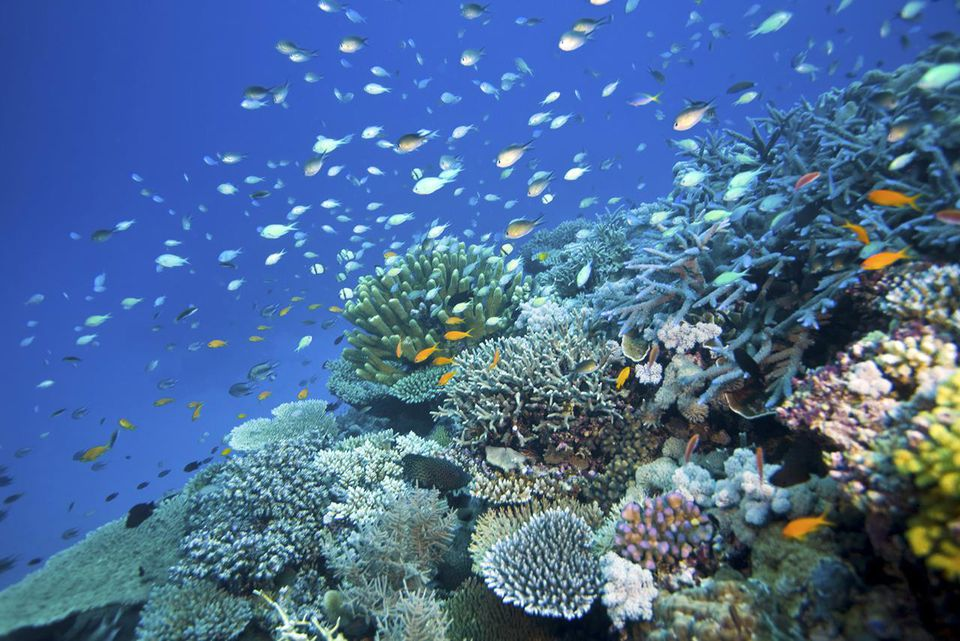 Reef scene with fish and corals, Wheeler Reef, Great Barrier Reef off Townsville, Queensland, Australia