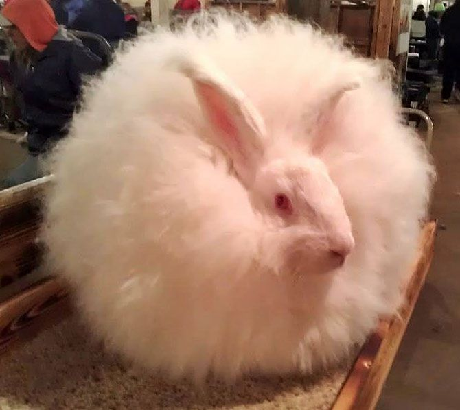 Angora Rabbit Breed Pr...